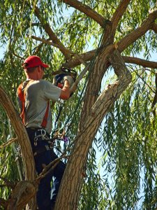 tree trimming Williston Park in progress